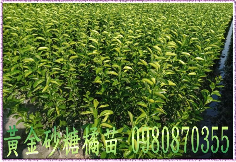 黃金砂糖桔苗
