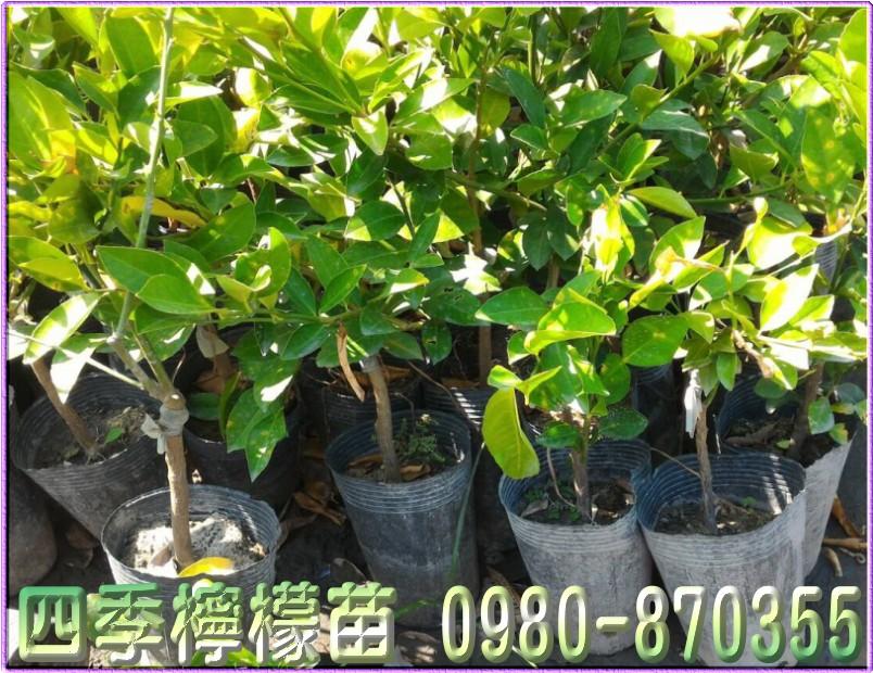 四季檸檬苗,檸檬樹苗,檸檬苗,四季檸檬苗買賣,檸檬樹苗買賣,檸檬苗買賣