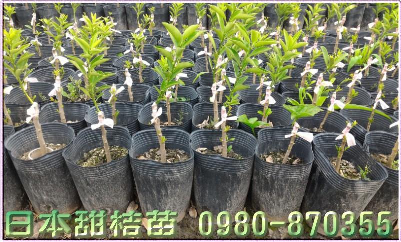 日本甜桔苗,甜桔苗,日本甜桔樹苗,日本甜桔苗買賣,日本甜桔苗批發