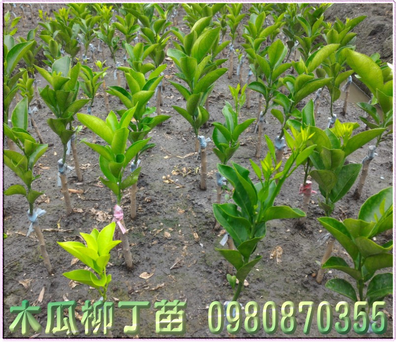 木瓜柳丁種苗