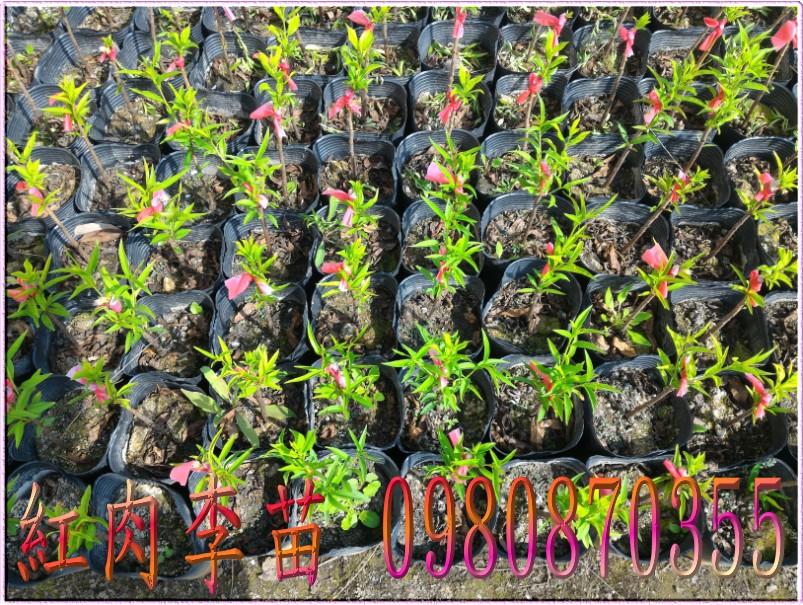 紅肉李種苗