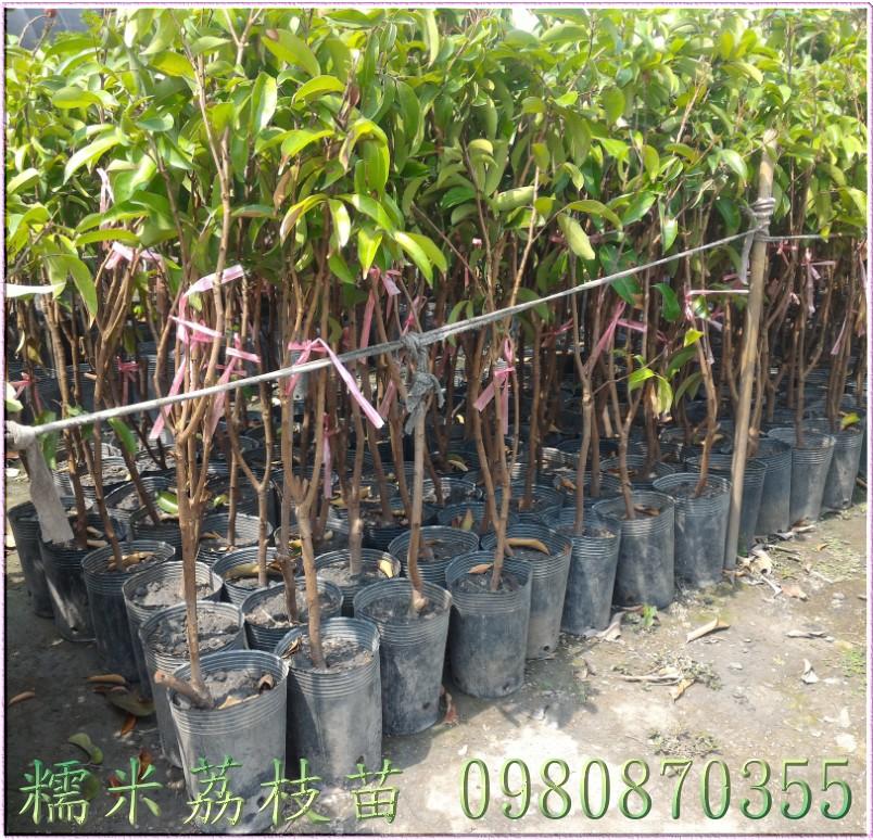 糯米荔枝樹苗
