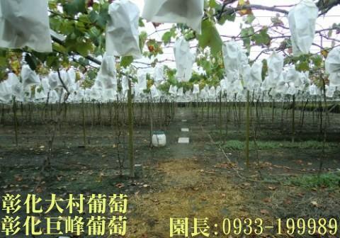 Taiwan,Changhua,Dacun,grape
