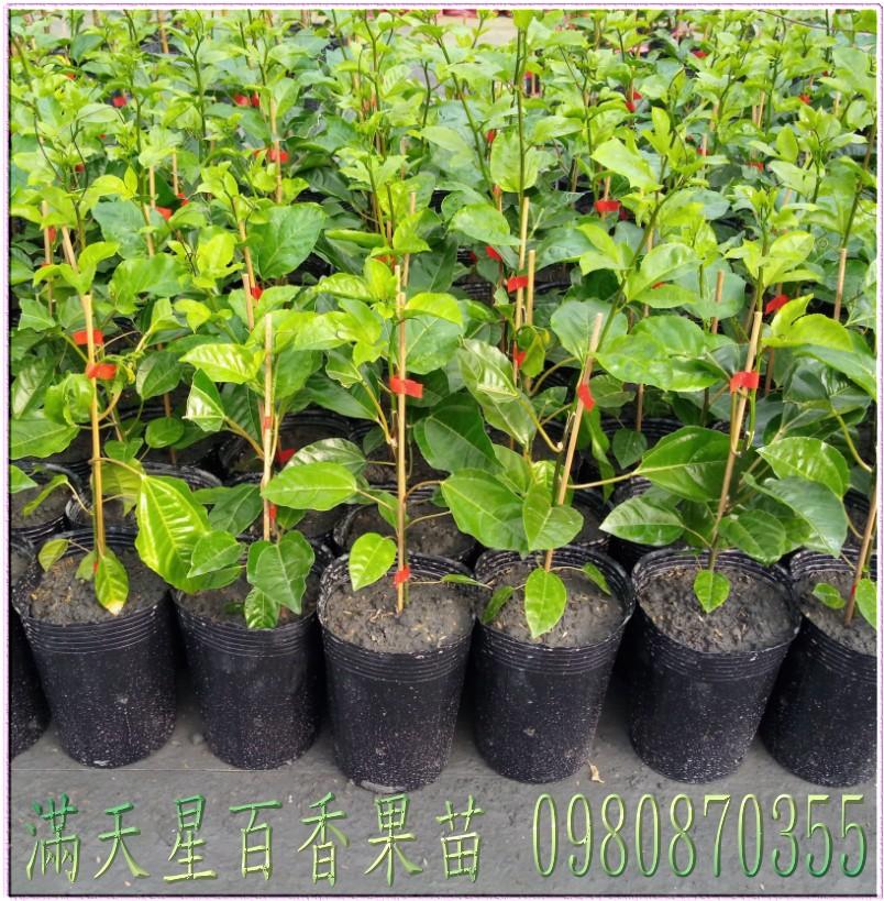 百香果種苗